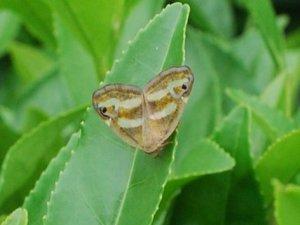 Kelebek istilası çay üreticilerini tedirgin etti