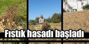 Nazilli'de yer fıstığı hasadı başladı