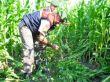 Karpuzlu'da 2 bin kök hint keneviri ele geçirildi