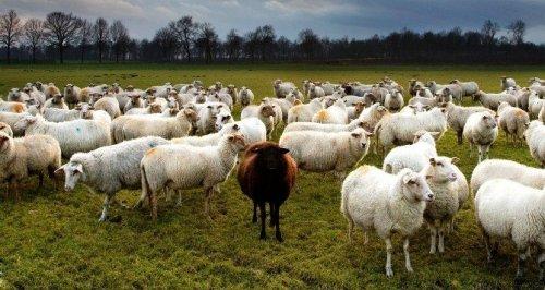 2014 Anaç Hayvan Destekleme Paraları Yatırıldı
